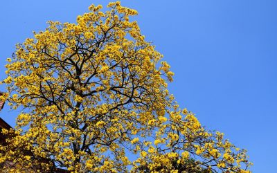 Guayacanes: el centro se viste  de color
