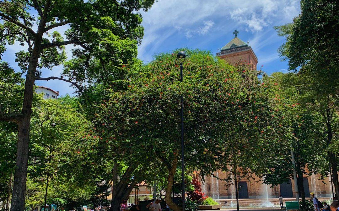 El Carbonero de Medellín, un árbol único que habita el centro
